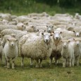 The AHVLA (The Animal Health and Veterinary Laboratories Agency) have confirmed that the Schmallenberg virus (SBV) have been detected on four sheep farms in Norfolk, Suffolk and East Sussex. Since August 2011, both […]